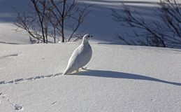 O pássaro do lagópode dos Alpes da neve segue o inverno Canadá Rocky Mountains fotografia de stock