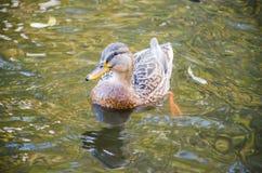 O pássaro do pato na água Foto de Stock Royalty Free