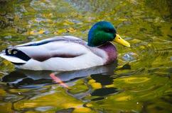 O pássaro do pato na água Imagens de Stock Royalty Free