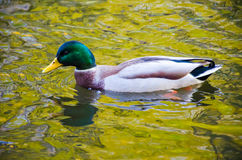 O pássaro do pato na água Fotografia de Stock Royalty Free