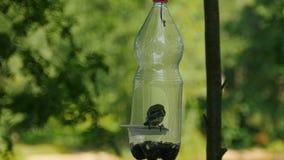 O pássaro do Titmouse bica sementes vídeos de arquivo