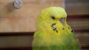 o pássaro do verde amarelo do budgie é muito cansado vídeos de arquivo