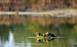 O pássaro esconde atrás de uma pedra no nascer do sol em uma lagoa Imagens de Stock Royalty Free