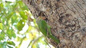 O pássaro está construindo ninhos na árvore alta na floresta tropical tropical video estoque