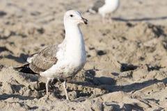 O pássaro está na praia Fotografia de Stock Royalty Free