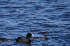O pássaro euro-asiático do atra do Fulica do galeirão no lago imagens de stock