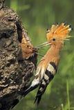 O pássaro euro-asiático do hoopoe dá o alimento aos jovens Imagens de Stock Royalty Free