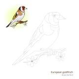 O pássaro europeu do pintassilgo aprende tirar o vetor Fotos de Stock