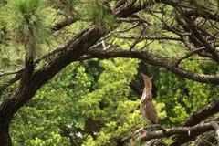 O pássaro (garça-real de noite Malayan) fica em um pinheiro e olha acima Fotos de Stock Royalty Free
