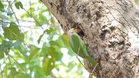 O pássaro masculino está alimentando o pássaro fêmea nos ninhos filme