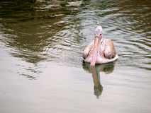 O pássaro na água Foto de Stock