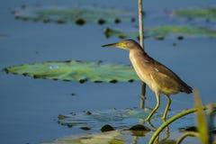 O pássaro na lagoa Fotos de Stock