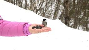 O pássaro na mão do ` s das mulheres come sementes video estoque