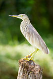 O pássaro na selva das marés de Kerala Imagem de Stock