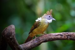 O pássaro, pássaro Branco-throated do Bulbul empoleirou-se em uma madeira Foto de Stock