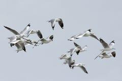 O pássaro, pássaro de Tailândia, pássaros da migração Brown-dirigiu a gaivota fotos de stock royalty free