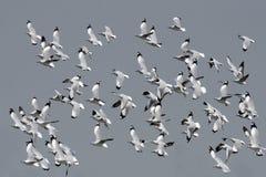O pássaro, pássaro de Tailândia, pássaros da migração Brown-dirigiu a gaivota Fotografia de Stock