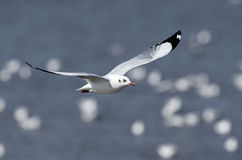 O pássaro, pássaro de Tailândia, pássaros da migração Brown-dirigiu a gaivota Imagens de Stock Royalty Free