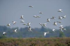 O pássaro, pássaro de Tailândia, pássaros da migração Gaivota-faturou a andorinha-do-mar Fotografia de Stock