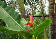 O pássaro pequeno canta na flor da banana Homem do sunbird da azeitona-para trás na planta exótica Foto de Stock