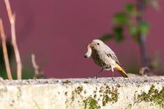 O pássaro pequeno do único redstart está no jardim com o sem-fim grande no bico Imagem de Stock Royalty Free