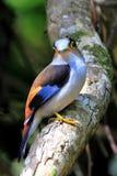O pássaro, prateia a conta larga breasted, Serilophuslunatus Imagem de Stock
