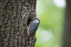 O pássaro que o pica-pau-cinzento se move ao longo do tronco de árvore, aninhando-se espera a alimentação na cavidade do carvalho Fotografia de Stock Royalty Free