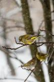 O pássaro que um homem do greenfinch se senta no ramo da cinza de montanha na perspectiva dos flocos de neve de queda Fotografia de Stock Royalty Free