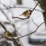 O pássaro que um pardal se senta no ramo da cinza de montanha na perspectiva dos flocos de neve do voo Fotos de Stock Royalty Free