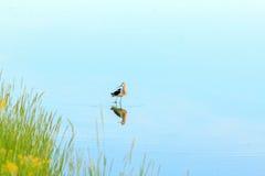 O pássaro refletiu na água Foto de Stock Royalty Free