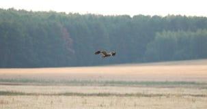 O pássaro selvagem de Hen Harrier Or Circus Cyaneus voa sobre o campo em Bielorrússia O fantasma cinzento video estoque