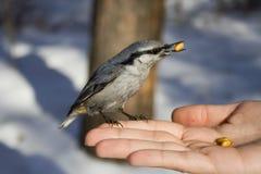 O pássaro selvagem na mão Imagens de Stock Royalty Free