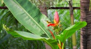 O pássaro tropical canta na flor da banana Homem do sunbird da azeitona-para trás na planta exótica Foto exótica da natureza Imagem de Stock Royalty Free