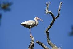 O pássaro vadeando dos íbis brancos empoleirou-se na árvore, reserva natural nacional da ilha de Pickney, EUA Imagens de Stock
