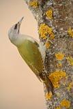O pássaro verde agradável Cinzento-dirigiu o pica-pau que senta-se no tronco de árvore com líquene amarelo Fotos de Stock
