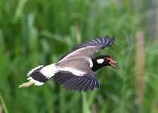 O pássaro vermelho-wattled de Indicus do Vanellus do galispo grita seu descontentamento no operador cinematográfico que invade se Fotos de Stock
