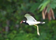 O pássaro vermelho-wattled de Indicus do Vanellus do galispo mostra sua plumagem branca sob as asas espalhadas em voo Imagens de Stock Royalty Free