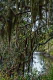 O pântano é enchido com os carvalhos musgo-cobertos e a folha grossa imagem de stock