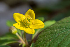 o Pântano-cravo-de-defunto no dia fresco de março faz a flor fotografia de stock royalty free