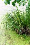 O pântano verde vaza Imagem de Stock
