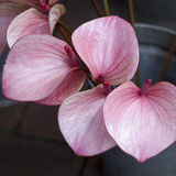 O pântano vermelho Arum, Marsh Calla, Calla selvagem, e Água-Arum do Calla é um gênero da planta de florescência no Araceae da fa Foto de Stock Royalty Free