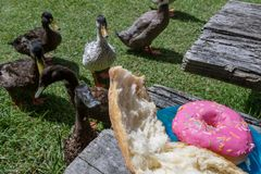 O pão com fome do olho dos patos e polvilha a filhós cor-de-rosa Imagens de Stock