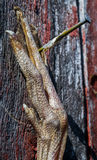 O pé do pássaro Fotos de Stock Royalty Free
