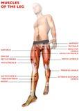 O pé muscles, corpo humano, anatomia, sistema muscular, pessoa da anatomia Fotos de Stock