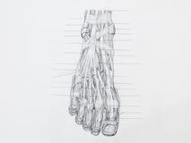 O pé muscles o desenho de lápis dos tendões Fotos de Stock