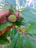 O pêssego é um fruto macio, suculento e carnudo fotos de stock