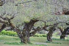 O pêssego bonito em Angkang Foto de Stock
