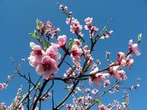 O pêssego cor-de-rosa floresce a flor fotografia de stock