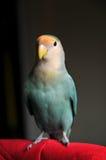 O pêssego enfrentou o Lovebird Imagens de Stock