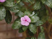 O pífano folheia flor foto de stock royalty free